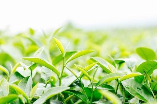 hvid tebusk himmel Camellia Sinensis, grøn, grøn te, guide, historie, hvad er, hvordan fremstilles, sundhed, tebusk
