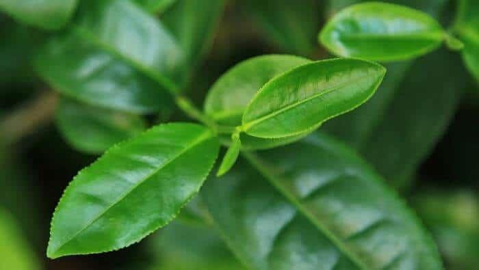 groenne blade te