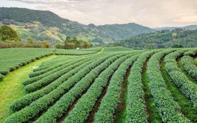 Hvad er grøn te? og de 6 vigtigste ting om grøn te alle bør vide