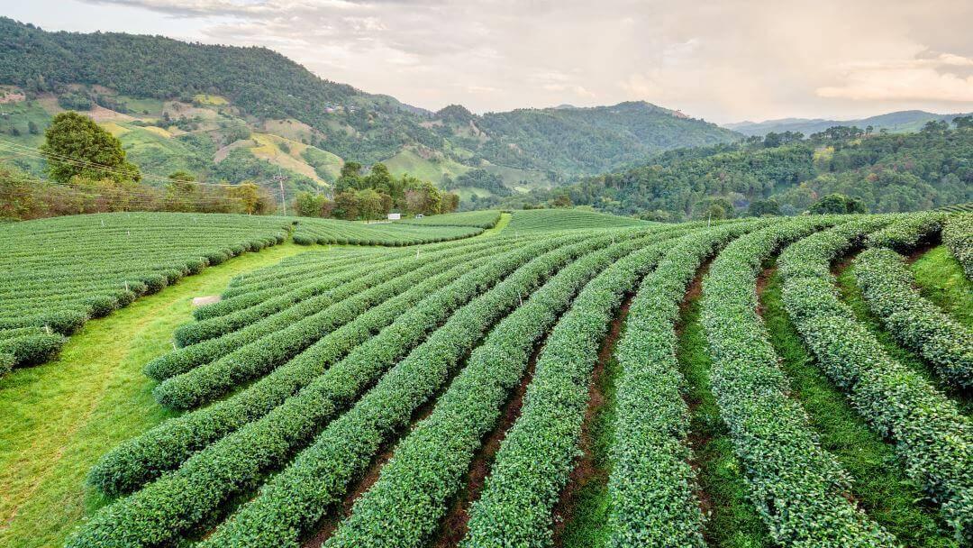 Hvad er grøn te? De 6 vigtigste ting om grøn te alle bør vide