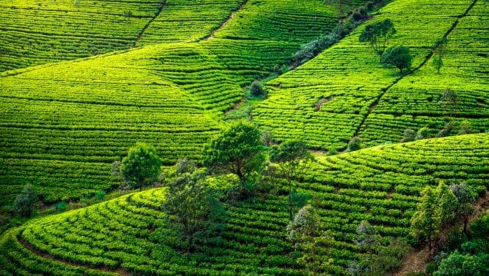 Teplantage med temarker på Sri Lanka