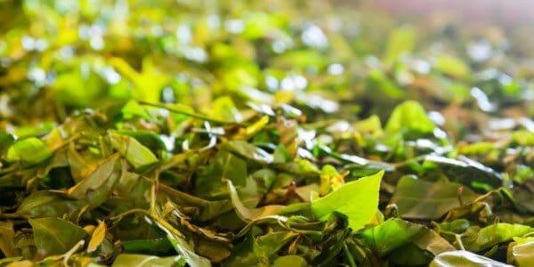 fremstille te grøn te til sort te
