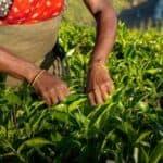 Kvinde plukker te