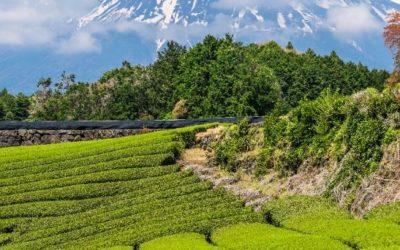 Alt om den japansk te og dens rejse fra dyrkning til teceremoni