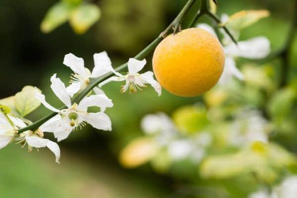 bergamotappelsiner
